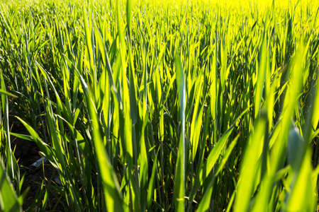 Young green wheat close up on a field at sunny day. Stock fotó