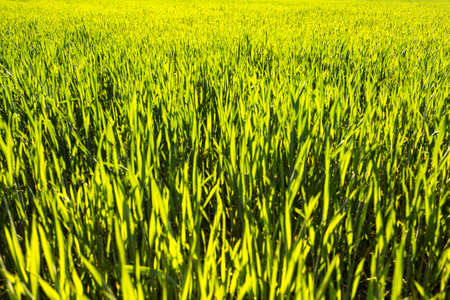 Field of young green wheat at sunny day. Using herbicide in agriculture