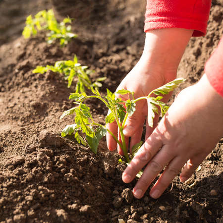 Hands care for young plants of tomatoes and plant them outside to the ground, at sunny day