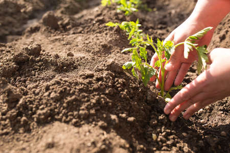 Hands care about young plants of tomatoes, with copy space. Stock fotó