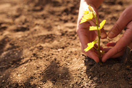 Hands care about new vineyard, young plants of grape with copy space. Planting grape to the soil. Stock fotó