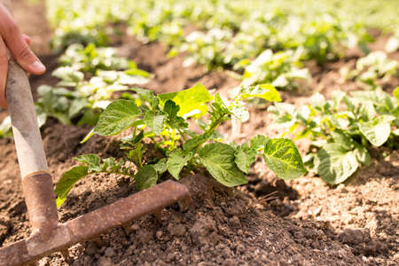 Hands with rake earthing the potatoes plants on a field Stock fotó