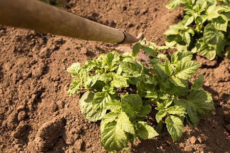 Hilling potatoes manualy. Care about young plans of potato.