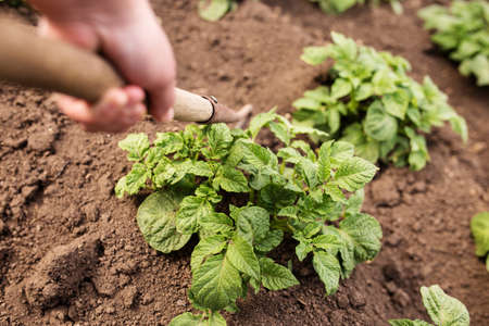 Hands holding tool for hilling potatoes. Growing potatoes in the little garden.