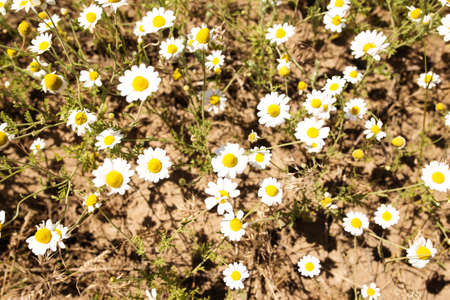 Field of wild daisies close up, view from a top.