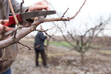 People working during spring time in the garden, pruning garden.