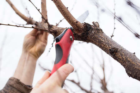 male hands pruning fruit tree with hacksaw, close up.