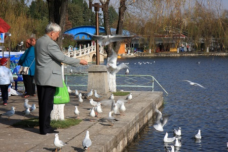 KUNMING, CHINA - DECEMBER 3, 2010: An elderly Chinese man feeds a flock of seagulls with bread at a public park, on December 3, 2010 in Kunming, China. These migratory seagulls make a stop here every winter to escape the cold weather in the north.