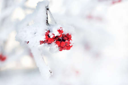 Red Berry mountain ash in the snow. Against the background of snow covered trees . Winter and holiday or snow or freeze concept Imagens