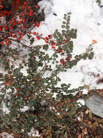 red berries on white snow 版權商用圖片