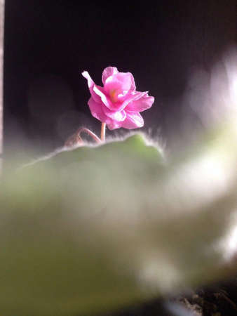 pink flower with Blur