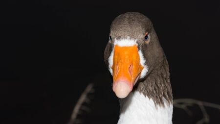 orange-billed, blue-eyed goose portrait photos