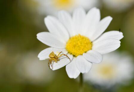 wild white daisy flower