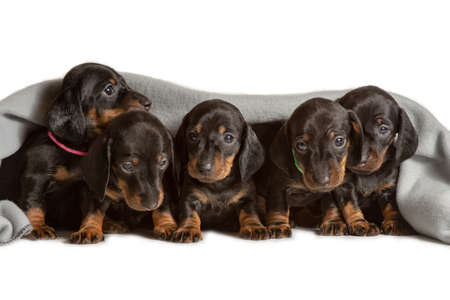Adorable five dachshund puppies looks out from under the soft warm a grey blanket. Bask in bed. Hiding from the cold.