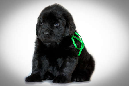 The Newfoundland puppy dog sits and looks sideways, on a vignette white background. Green ribbon tied. The concept of Pets.