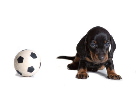 Beautiful puppy Dachshund sitting next to the ball for the game of football and looks sad. The concept of games with Pets