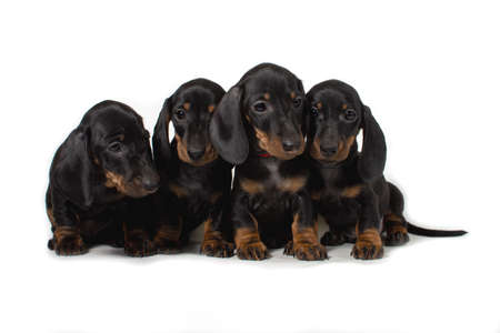 Four Dachshund puppy sitting together and looking in different directions. Isolated on white background. 写真素材