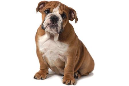 Englische Bulldogge, 5 Monate alt, sitzt auf weißem Hintergrund und freut sich.
