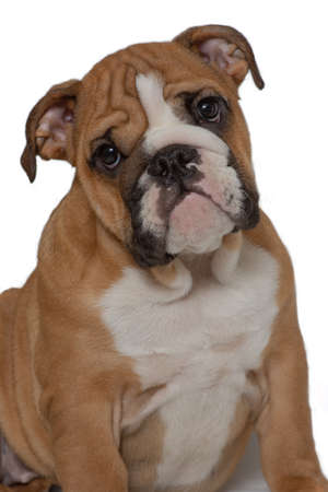 English bulldog, 5 months old, sitting on white background and looking forward. Close-up portrait. Banco de Imagens