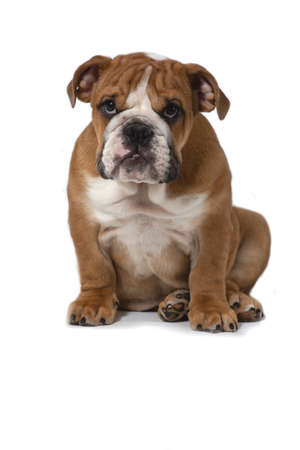 English bulldog, 5 months old, sitting on a white background and looking carefully ahead.