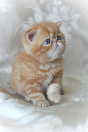 Red exotic Shorthair kitten sitting on a gray background and raised his paw. The concept of Pets.