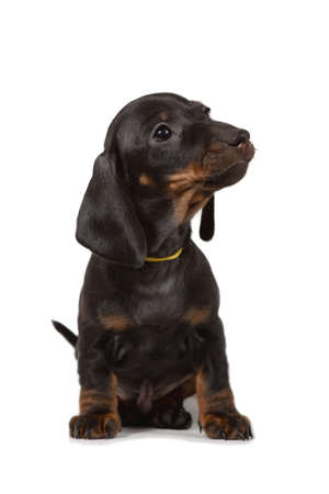 The Dachshund puppy sitting and looking away, isolated on white background.