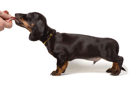 The Dachshund puppy stands sideways, hand holding meat isolated on a white background.