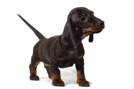 Puppy fees stands and looks carefully to the side, isolated on a white background.