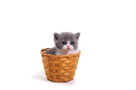 Blue bicolor British kitten sitting on a white background in a wicker basket.