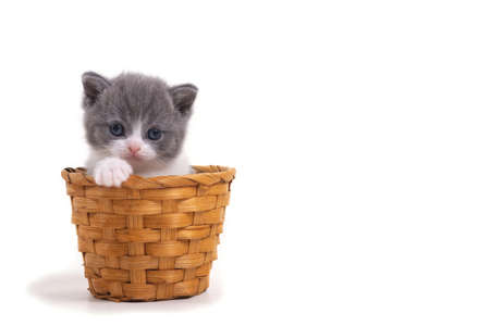 Blue bicolor British kitten sitting on a white background in a wicker basket. Space for inscription on the right