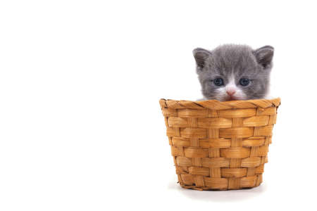 Blue bicolor British kitten sitting on a white background in a wicker basket. Place for inscription on the left