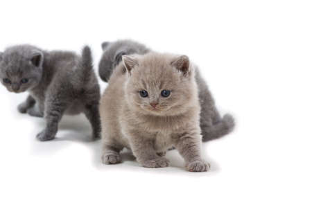 Purple British kitten and two brothers standing on a white background, looking away. Stock Photo