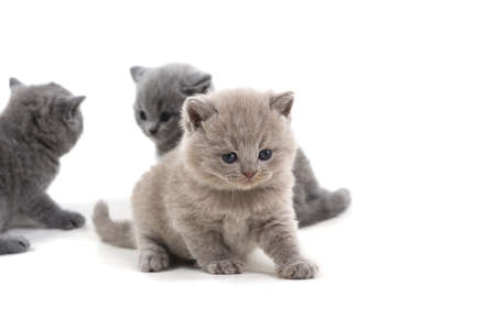 Purple British kitten and two brothers stand on a white background, looking down.