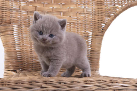 Lilac British kitten standing in a wicker chair and looking at the camera. Stock Photo
