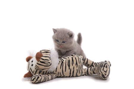 Purple British kitten stands on a white background, defeated a toy tiger. Age 1 month. Isolated