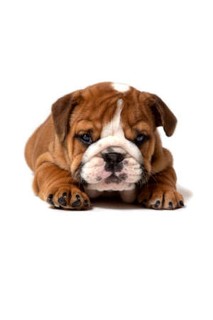 Cute English bulldog puppy lying, isolated on white background