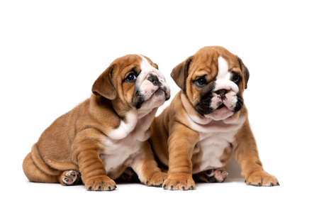Two cute English bulldog puppies sitting next, listening carefully, isolated on a white background