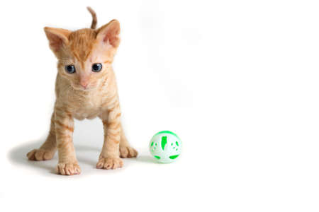 Lovely kinky kitten Ural Rex is right in front of the camera and looking down isolated on a white background. Color Red