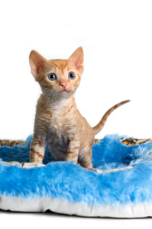 Adorable curly-haired kitten Ural Rex sits and looks forward, isolated on a white background.