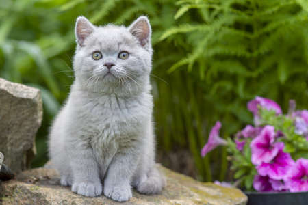 Gatito británico de pelo corto sentado en una piedra en la hierba de cerca Foto de archivo