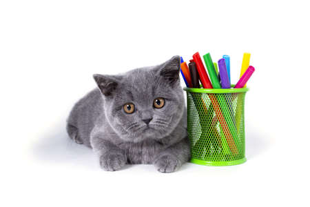 The charming, gray, fluffy purebred British kitten, a glass with felt-tip pens, on a white background. welcome to school