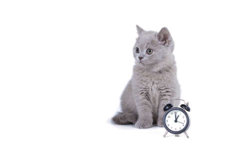 Charming purple fluffy British kitten sitting next to the clock. On white background. Have to go to school Stockfoto