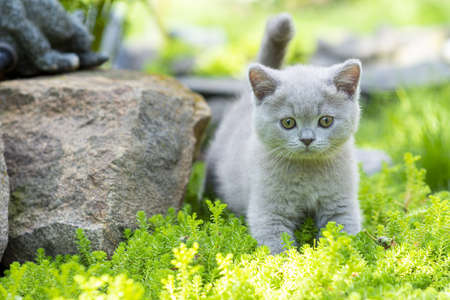 British purple Shorthair kitten on a walk in the garden, walking on the grass and looking carefully. The concept of new knowledge.