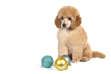 Christmas dog poodle on white background with glass toys for Christmas tree.