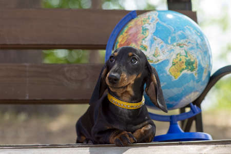 Portrait of a young cute dog Porsy Dachshund and a globe on a background on a bench in nature. The concept of tourism and travel. Banque d'images