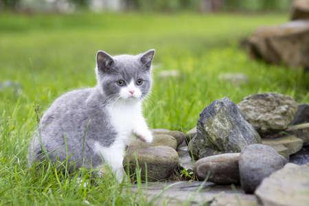 British Shorthair kitten on a walk in the garden on the rocks. Color blue bicolor Standard-Bild