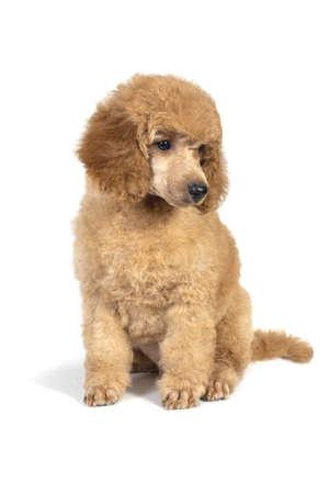 Caniche cachorro color albaricoque sentado y mirando a otro lado. Aislado sobre fondo blanco.