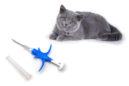 Syringe for the introduction of chip and identifier animal alongside gray kitten British Shorthair breed.