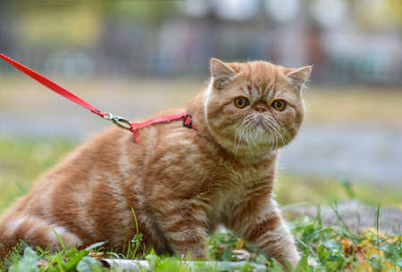 Red striped exotic cat with a leash walking in the yard. Young cute Persian cat in harness sitting on the lawn. Pets walk outdoors, adventure on the green grass in the Park.