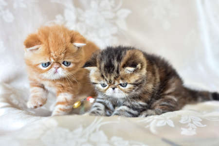 Two funny kittens breed exotic Shorthair close-up play. The design concept of the children's Fund and home comfort. Reklamní fotografie - 131462855